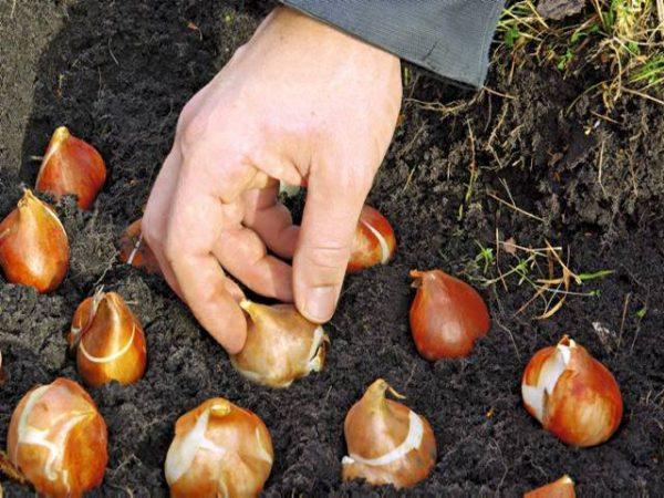 При посадке тюльпанов важно соблюдать расстояние между луковицами