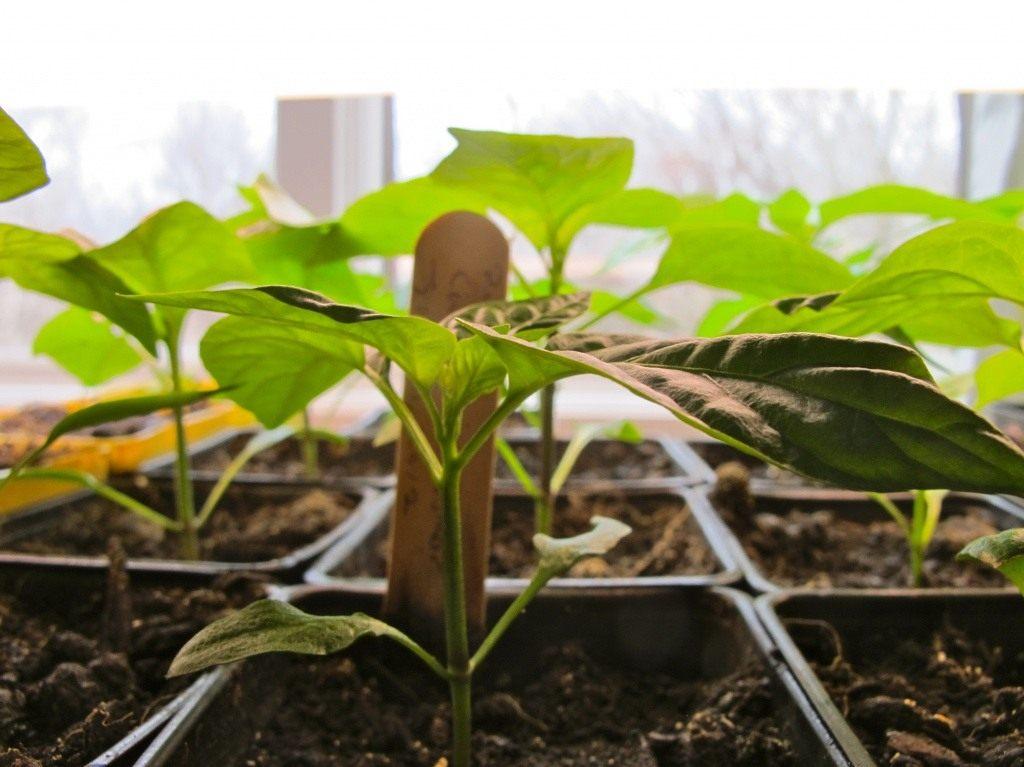 При удобрении перца следует вносить подкормку строго под корень