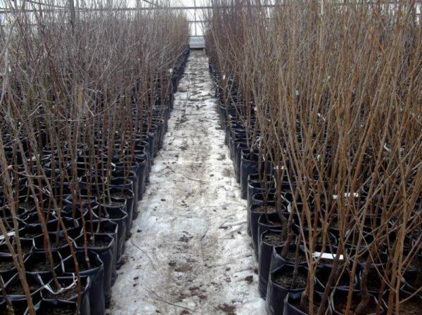 При выборе саженца следует делать выбор в пользу деревьев с развитой корневой системой и здоровым крепким стволом