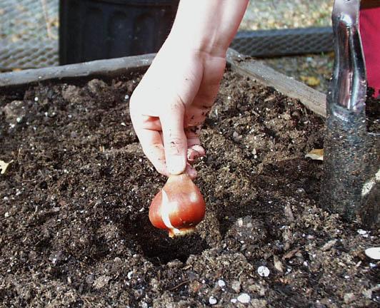 Приготовленые для посадки луковицы должны быть здоровыми и крепкими