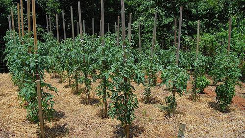 Пример высадки томатов в открытый грунт и их подвязка