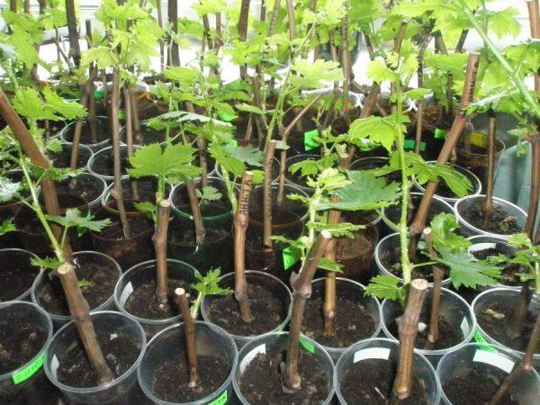 Проращивание посадочного материала