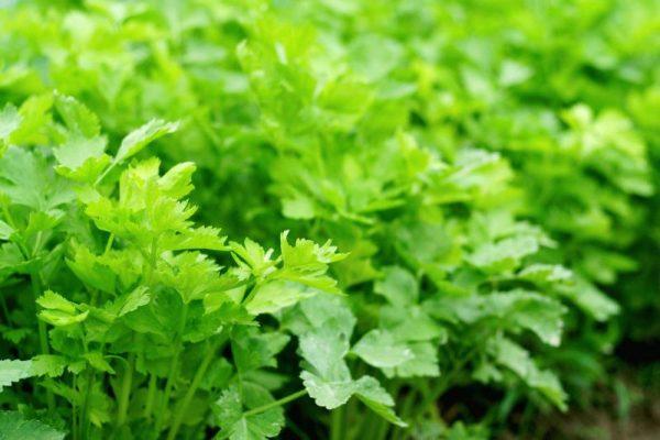 Прореживание листового сельдерея позволит ему лучше распределить питательные ресурсы
