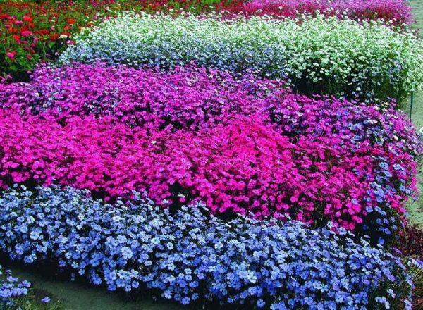 Пышные цветники вискарии