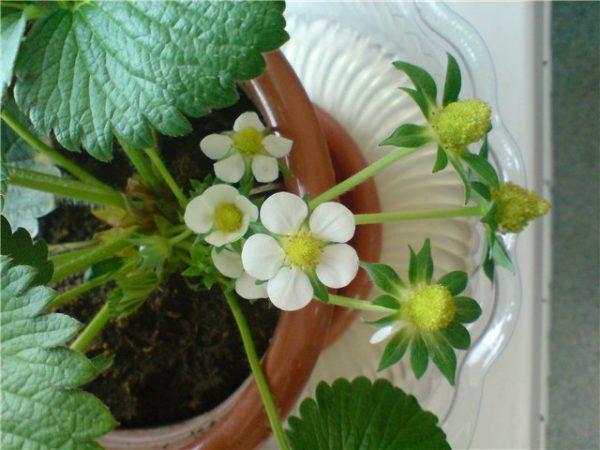 Растения, которые находятся в помещении, придется опылять с помощью кисточки
