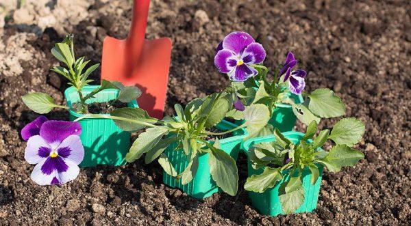 Растения накануне пересадки на клумбу