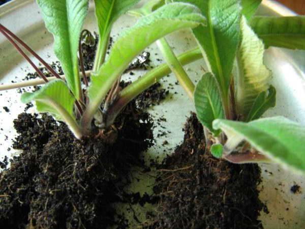 Разделенное на две части взрослое растение