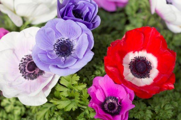 Анемоны выращивание