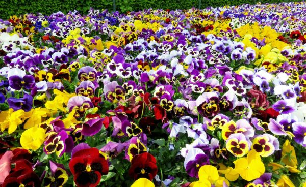 Разноцветие анютиных глазок