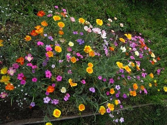 Разноцветный куст вискарии