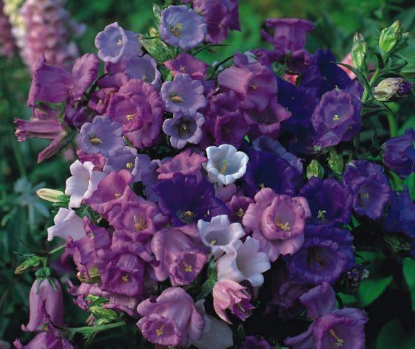 Разные сорта цветка хорошо уживаются друг с другом
