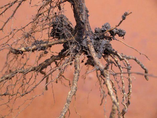 Развитая корневая система саженца винограда