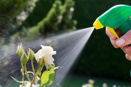 Роза любит влажность, поэтому ее регулярно опрыскивают