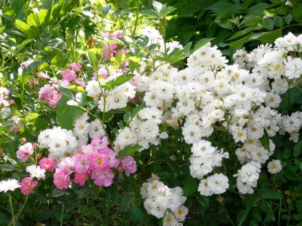 Роза многоцветковая вечноцветущая мини садовый аромат