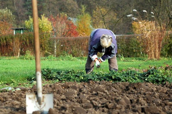 Рыхление почвы позволяет не только лучше удобрить ее, но и избавиться от некоторых вредителей, затаившихся в почве