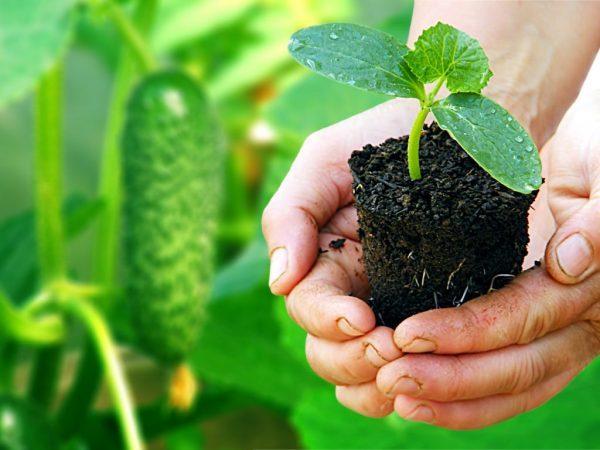 С рассадой нужно обращаться осторожно, чтобы не повредить хрупкие корни