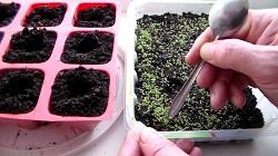 Как вырастить гортензию из семян рассадный и безрассадный способывидео