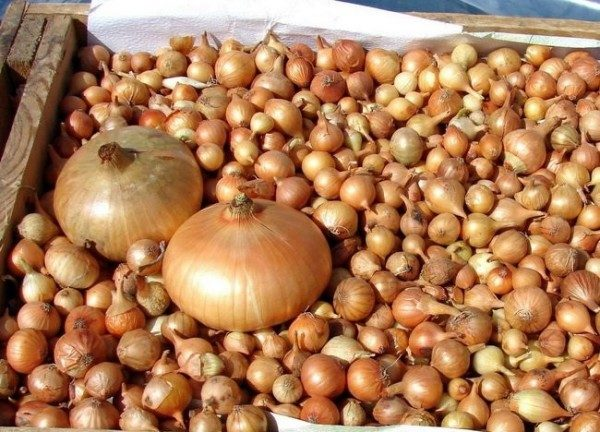 Среди репчатых гибридов Геркулес имеет одну из самых больших луковиц