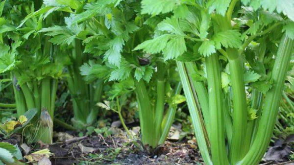Сажая черешковый сельдерей, очень важно не погрузить его в почву слишком глубоко