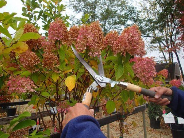 Семена дают только мелкие цветки гортензий