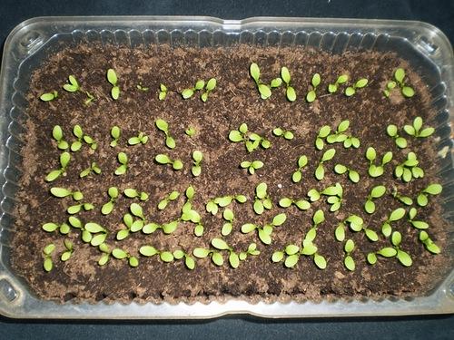 Семена гвоздики проросли