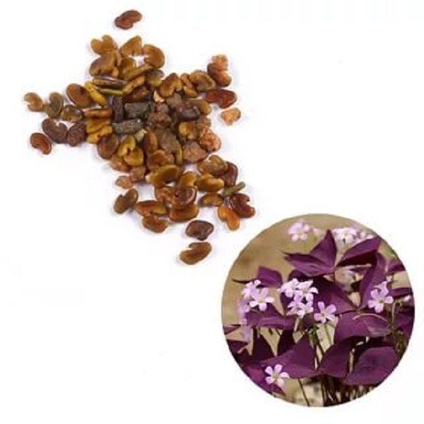 Семена кислицы