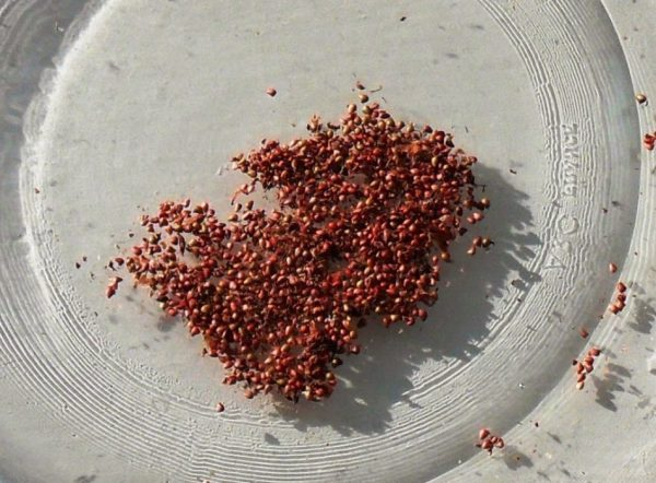Семена растения быстро теряют способность к всхожести