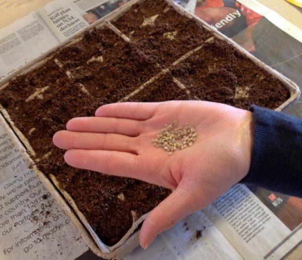 Семена томатов, подготовленные к посадке