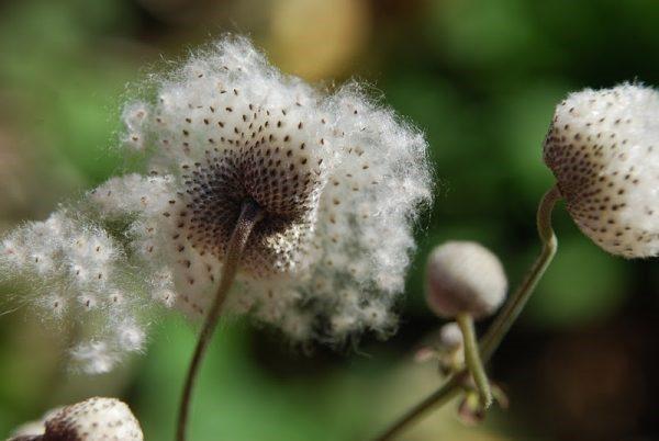 Семена ветреницы