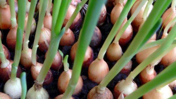 Севки допускается сажать ближе друг к другу, чем луковицы
