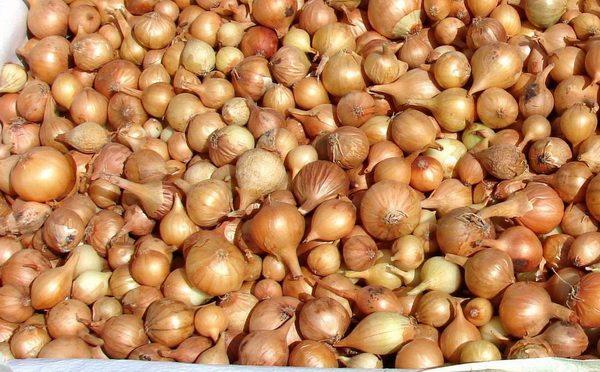 Севки отличаются своими миниатюрными размерами, но не уступают луковицам в урожайности