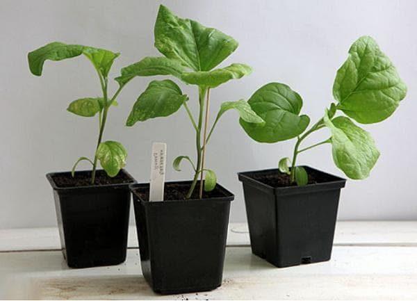 Сеянцы, обзаведшиеся пятью листьями готовы к пересадке в открытый грунт