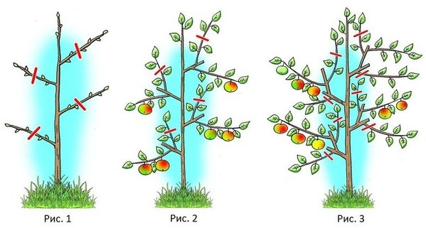 Схема обрезки колоновидной яблони