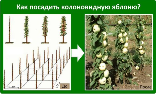 Схема расположения деревьев в будущем яблоневом саду