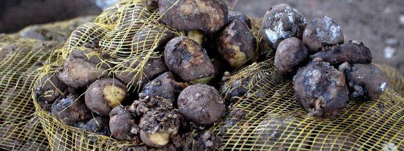 Скорое гниение картофеля часто указывает на его поражение грибковыми заболеваниями