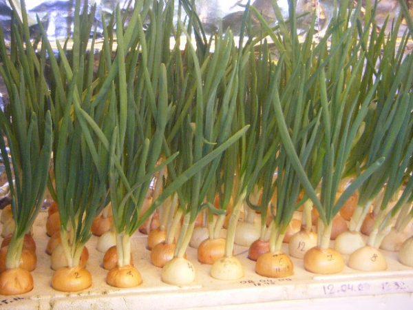 Следует заранее рассчитывать количество сажаемых луковиц, чтобы успеть воспользоваться их урожаем