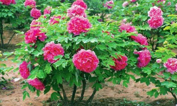 Собственный вес пригибает соцветия выведенных в Китае пионов к земле