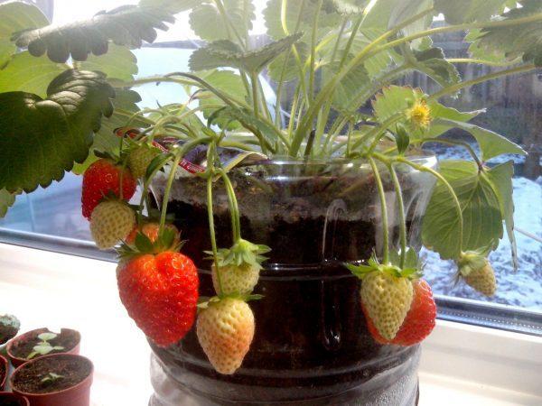 Сорт Альбион выращенный в 5-литровой пластиковой бутылке, порадует ягодами в зимнее время