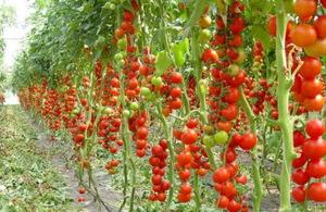 Ранний полудетерминантный сорт томатов Эйла Крейг