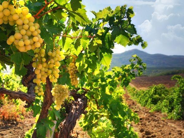 Созревший виноград