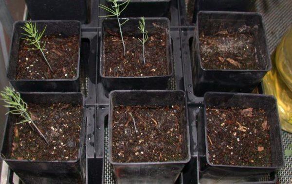 Спаржа, выращенная рассадным способом, имеет больше шансов прижиться на огороде