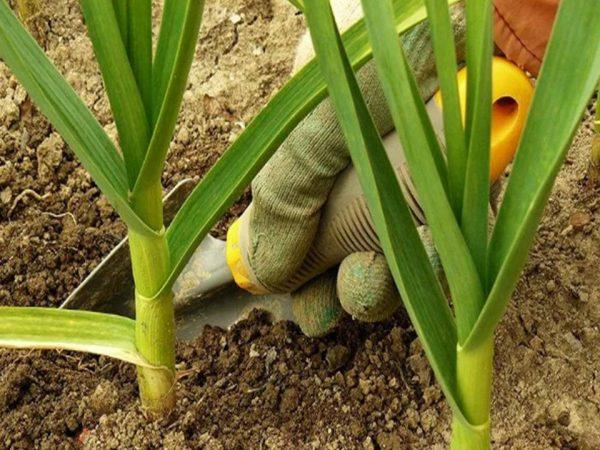 Если вы любите употреблять в пищу именно зеленую часть растения, лучше вам высаживать его в тенек, дабы ботва набралась сока