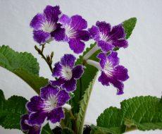 Стрептокарпус- великолепный цветок