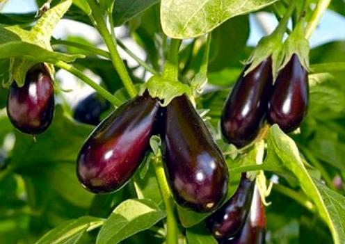 Супер урожайный сорт Балагур