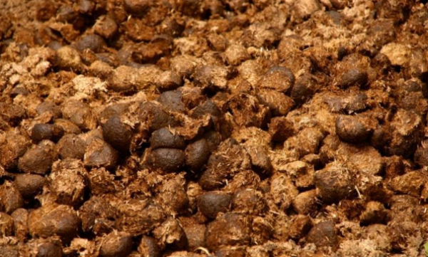 Свежий навоз вносить нельзя из-за риска заражения грибковыми инфекциями