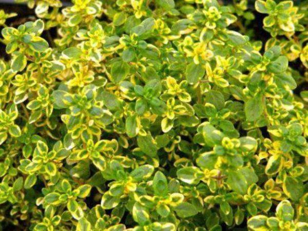 Тимьян лимонный (лимоннопахнущий или овощной)