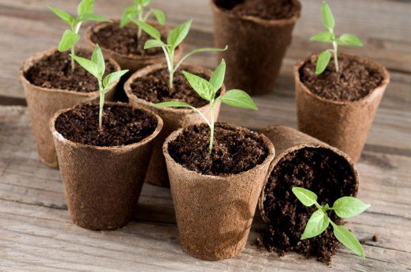 Торфяники - удобная емкость для выращивания молодняка