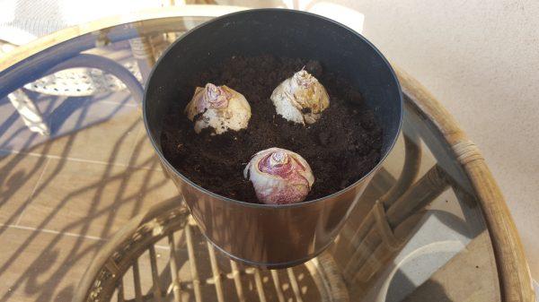 Удачный пример посадки гиацинтов. Луковицы находятся на расстоянии друг от друга и от стенок горшка