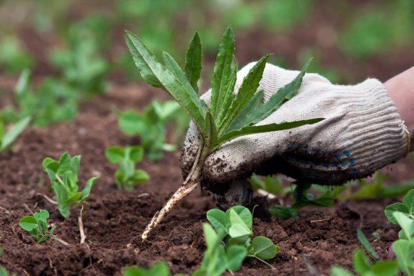 Удаление сорняков позволит спарже получить больше ресурсов из почвы