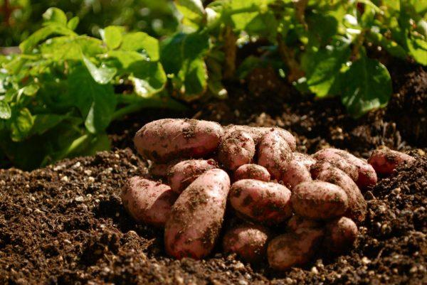 Урожай картофеля, выращенного по методу Митлайдера